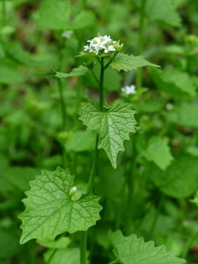garlic_mustard_blossom_bloom_white_garlic_herb_knoblauchhederich_cruciferous_plant_kitchen_herb 1246639